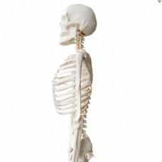 Анатомическая модель человеческого скелета 174 см